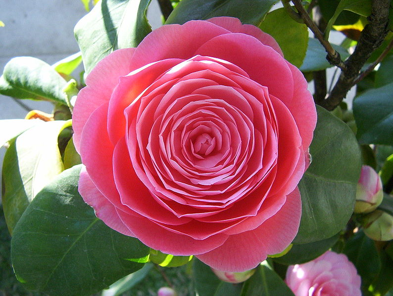 Что такое японские розы?