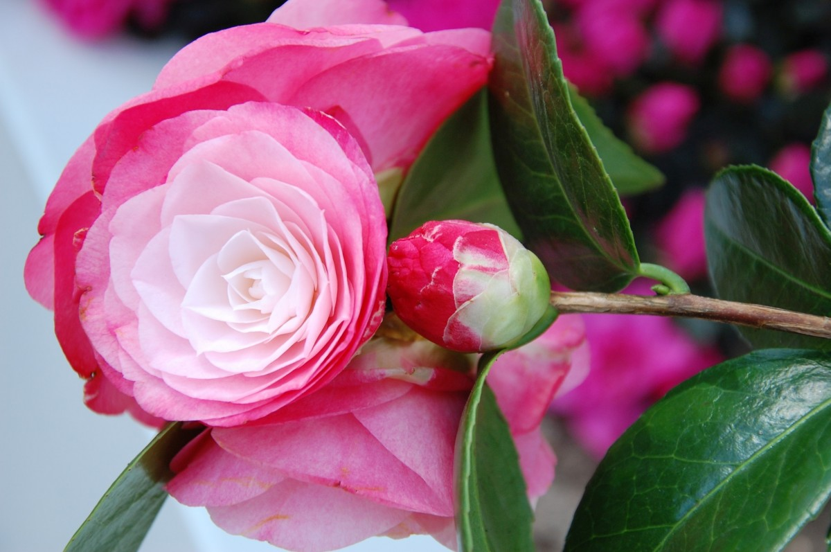 Правильный уход за розами