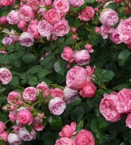Добавлены новые розы