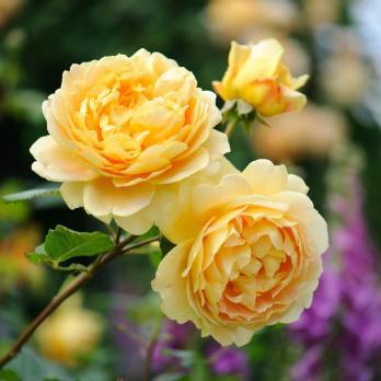 Роза Голден Селебрейшн / Golden Celebration (Английская)