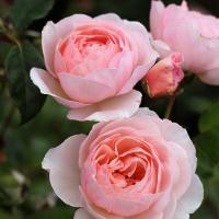 Роза Херитейдж / Heritage (английская)