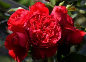 Роза Флорентина / Florentina (Плетистые)