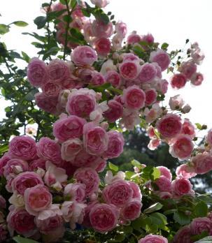 Роза Жасмина / Jasmina (плетистые)