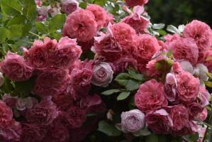 Роза Розариум Ютерзен / Rosarium Uetersen (плетистые)