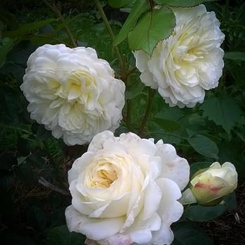 Роза Транквилити / Tranquillity (Английские)