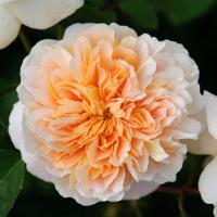 Роза Ти Клиппер / Tea Clipper (Английские)
