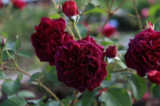 Роза Традескант / Tradescant (Английские)