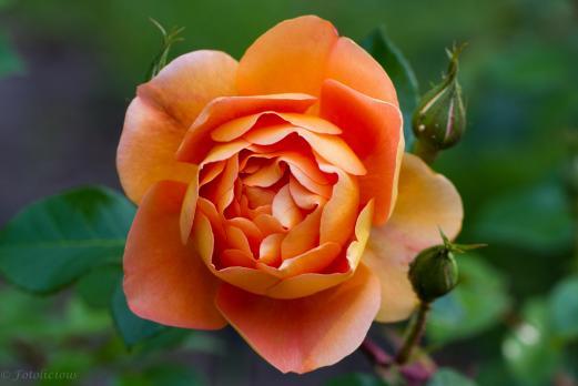 Роза Пэт Остин / Pat Austin (английские)
