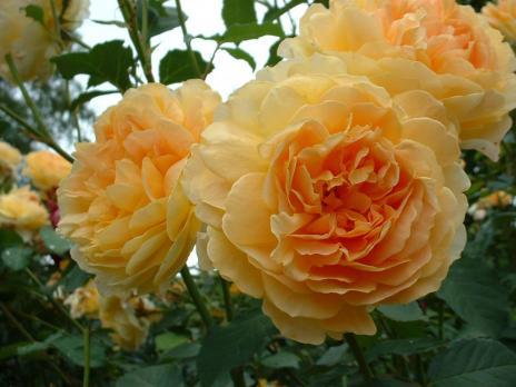 Роза Молинью / Molineux (Английская)