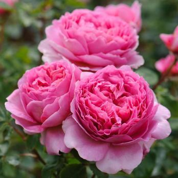 Роза Принцесса Александра оф Кент / Princess Alexandra of Kent (английская)