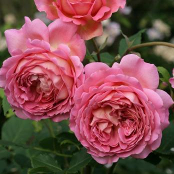 Роза Джубили Селебрейшн / Jubilee Celebration (Английские)