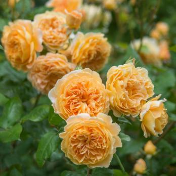 Роза Краун Принцесс Маргарет / Crown Princess Margareta (английские)