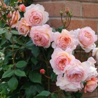 Роза А Шропшир Лэд / A Shropshire Lad (Английские)