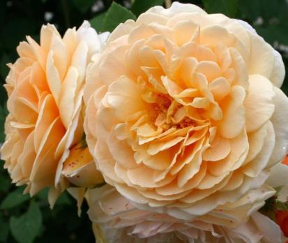 Роза Инглиш Гарден / English Garden (Английские)