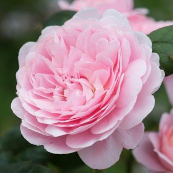 Роза Квин оф Шведен / Queen of Sweden (Английские)
