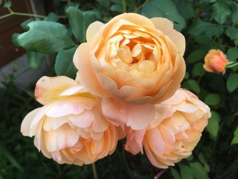 Роза Роальд Даль / Roald Dahl (Английская)