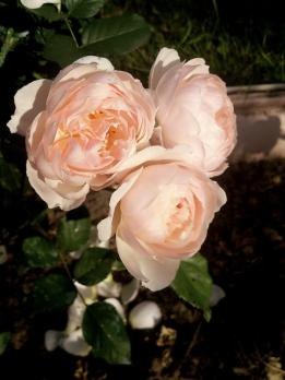 Роза Зе Шефердесс / The Shepherdess (Английские)