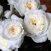 Роза Пэйшнс / Patience (английская)