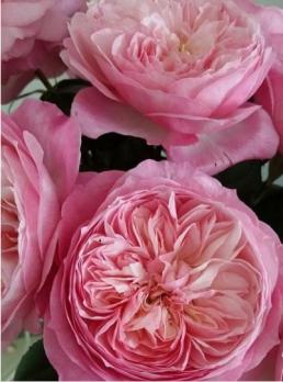 Роза Констансе / Constance (английская)