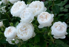 Роза Глэмис Касл / Glamis Castle (Английские)