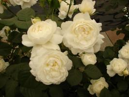 Роза Уильям и Кэтрин / William and Catherine (Английские)