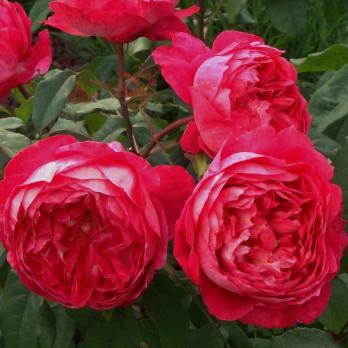 Роза Бенджамин Бриттен / Benjamin Britten (английские)