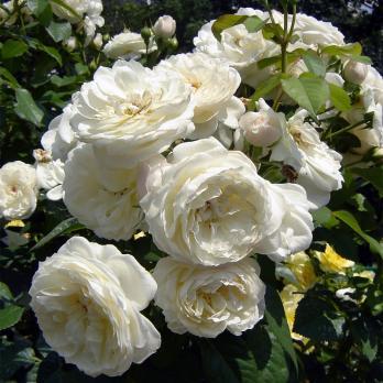 Роза Парки / Parky (шраб)