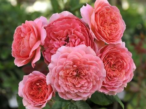 Роза Амандин Шанель / Amandine Chanel (шраб)