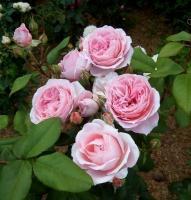 Роза Анн Софи Пик / Anne-Sophie Pic (Шраб)
