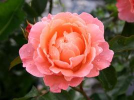 Роза Мари Кюри / Marie Curie (Шраб)