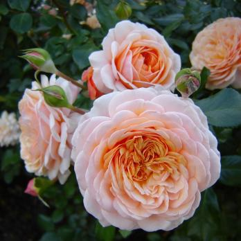 Роза Элизабет Стюарт / Elizabeth Stuart