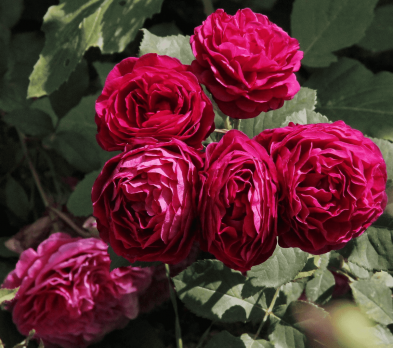 Роза Бисантенэр де Гийо / Bicentenaire de Guillot (Шраб)