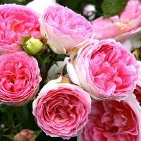 Роза Курфюрстин Софи / Kurfürstin Sophie (Шраб)