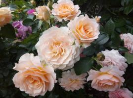 Роза Марджори Маршалл / Marjorie Marshall (Шраб)