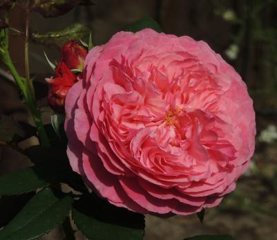 Роза Ладури / Laduree (Шраб)