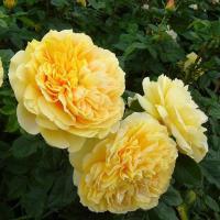 Роза Сто Идей Сада / 100 Idees Jardin (шраб)