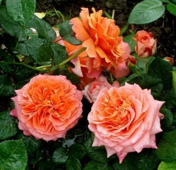 Роза Нотр Дам дю Розэр / Notre Dame du Rosaire (Шраб)