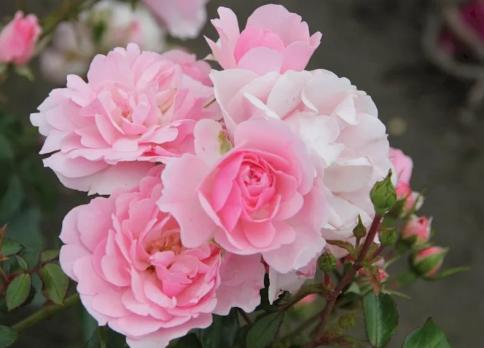 Роза Боника 82 / Bonica 82  (Шраб)