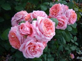 Роза Институт Люмьер / Institut Lumiere (шраб)