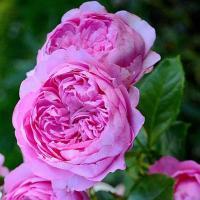 Роза Шанталь Мерье / Chantal Merieux (Шраб)