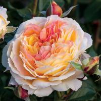 Роза Ля Калиссон / La Calissonne (Шрабы)