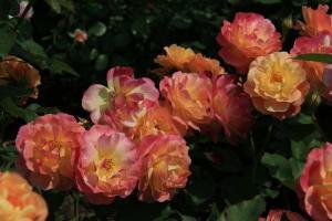 Роза Приёр де Сан-Косм / Prieure de St Cosme (шраб)