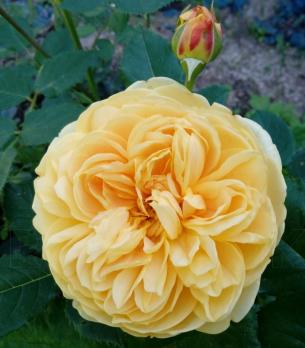 Роза Глусскет / Gluckskette (Шраб)