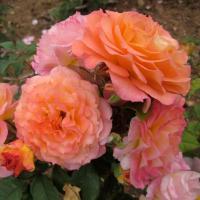 Роза Думэн Сэн-Жак дю Кулубрийе / Domaine Saint Jacques du Couloubrier (Шраб)