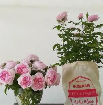 Роза Пассион Ситроен / Passion Citroen (Шраб)
