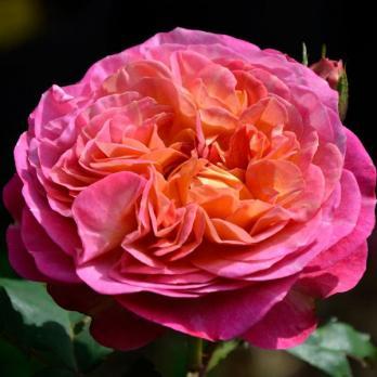 Роза Сантенер де Л`ей-ле / Centenaire de L`Hay-les (Шраб)