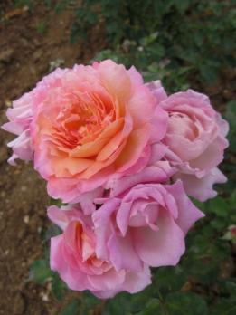 Роза Флораже / Rosa Florajet (Шраб)