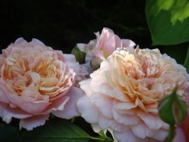 Роза Фестиваль де Жардан де Шомон / Rosa Festival des Jardins de Chaumont (Шраб)