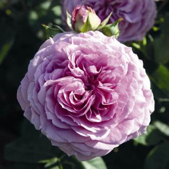 Роза Лавендер Айс / Lavender Ice (Патио)