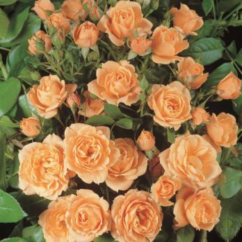 Роза Априкот Клементина / Apricot Clementine (Патио)